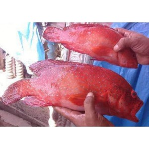 Red Spotted Grouper (DongXingBan)